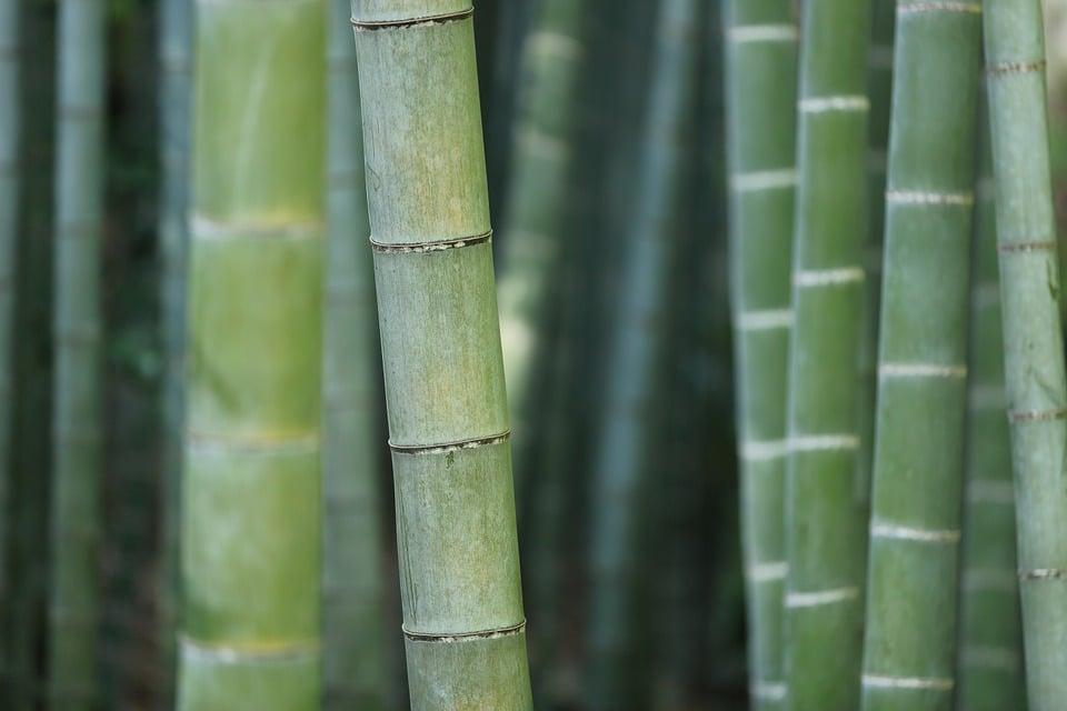 Planter bambou : tout ce qu'il faut savoir avant de se lancer