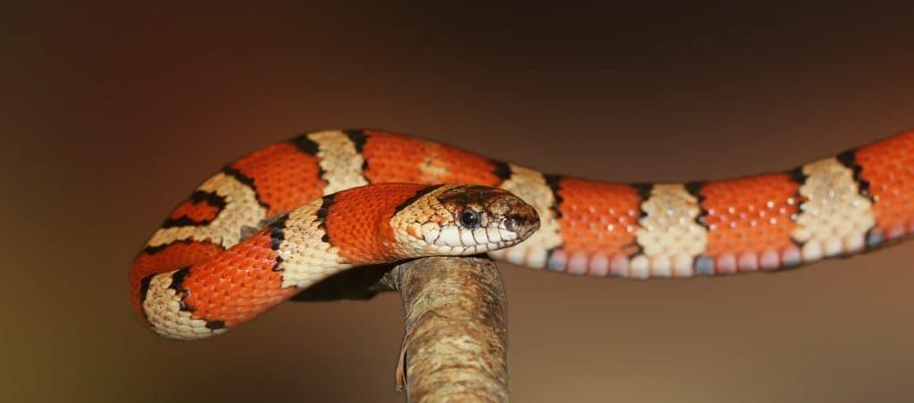 Serpent venimeux: les espèces vivant en France