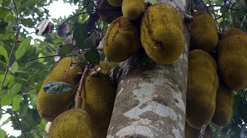Fruit du jacquier : l'essentiel à savoir sur le plus gros fruit au monde