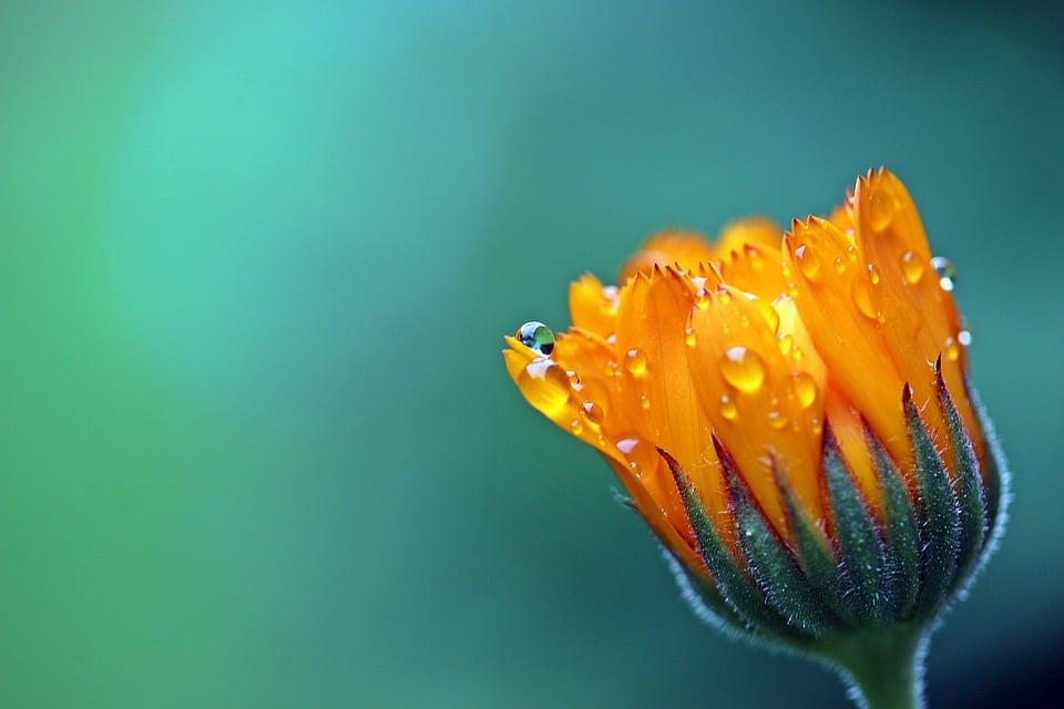 Souci : la fleur jaune aux multiples vertus et usages