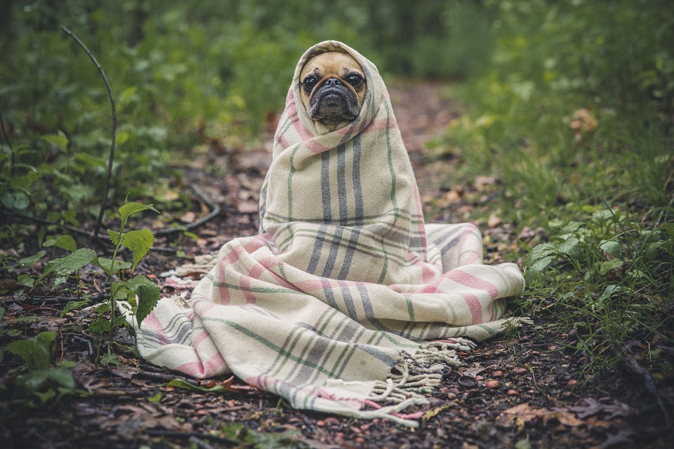 Température chien : comment reconnaître la fièvre ?