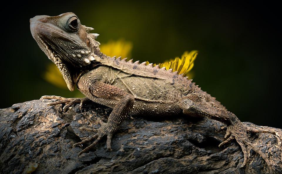 Adopter reptile