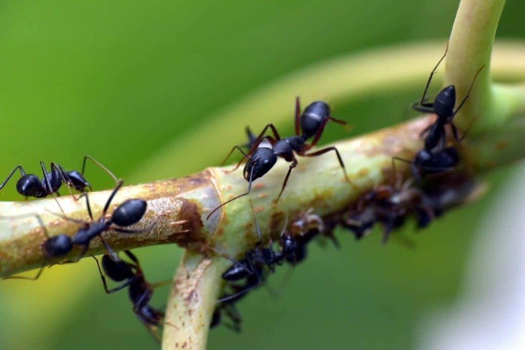 Anti-fourmi naturel: lequel choisir?