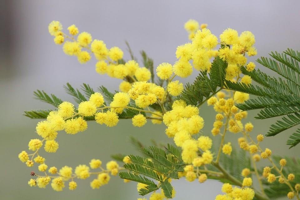 Mimosa : l'essentiel à savoir