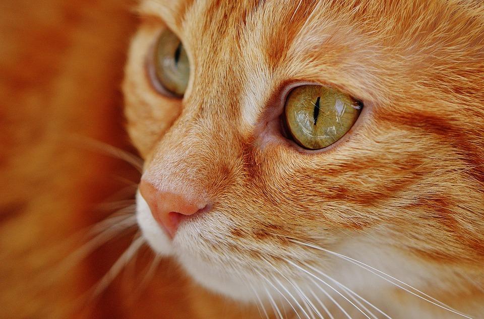 Maladie des griffes du chat : l'essentiel à savoir