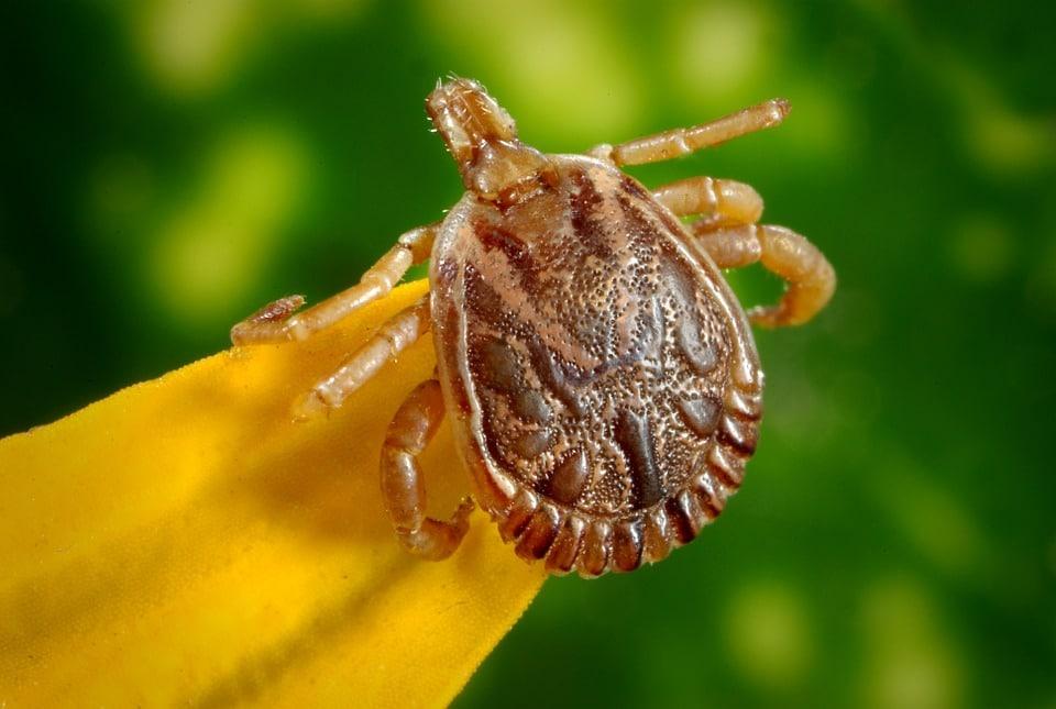 Tic insecte : une bestiole à ne pas sous-estimer