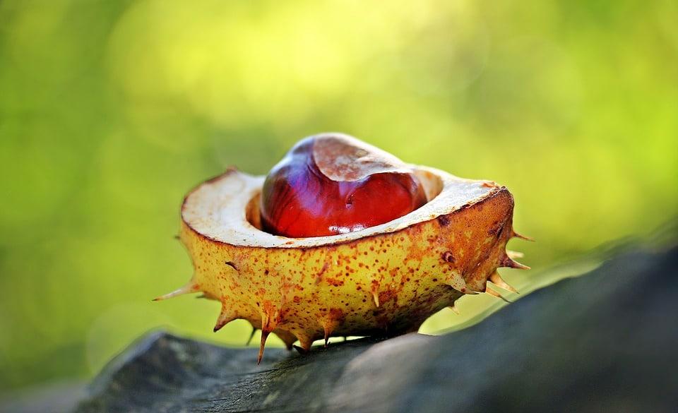 Châtaigne: tout savoir sur ce fruit du châtaignier