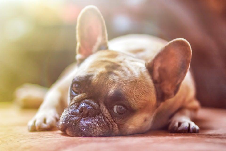 Mon chien se gratte : que faut-il faire ?