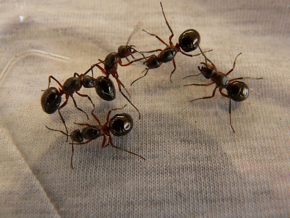 Nid de fourmis : que faut-il savoir ?