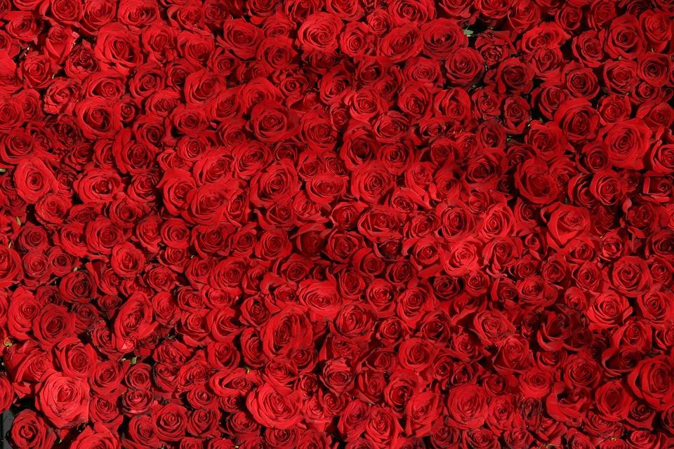Huile de rose : sa création, ses propriétés et vertus