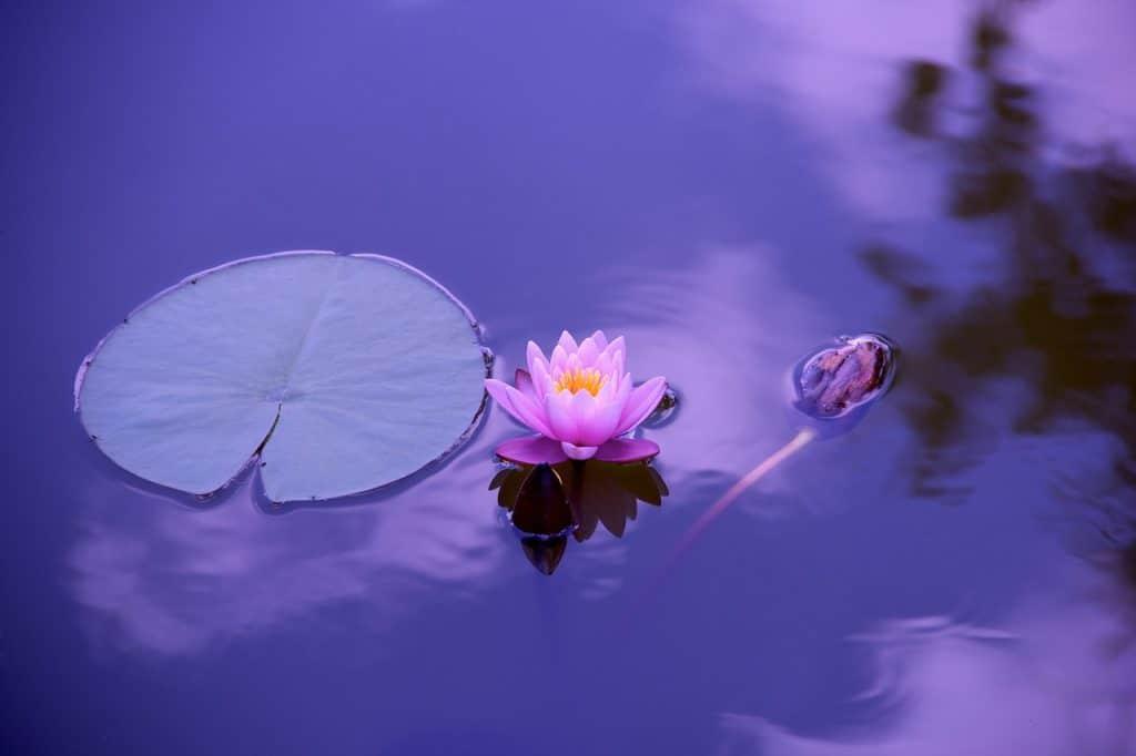 lotus kamasutra