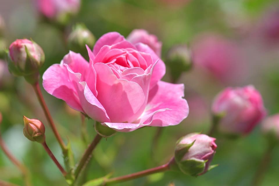 Taille des rosiers : le guide complet