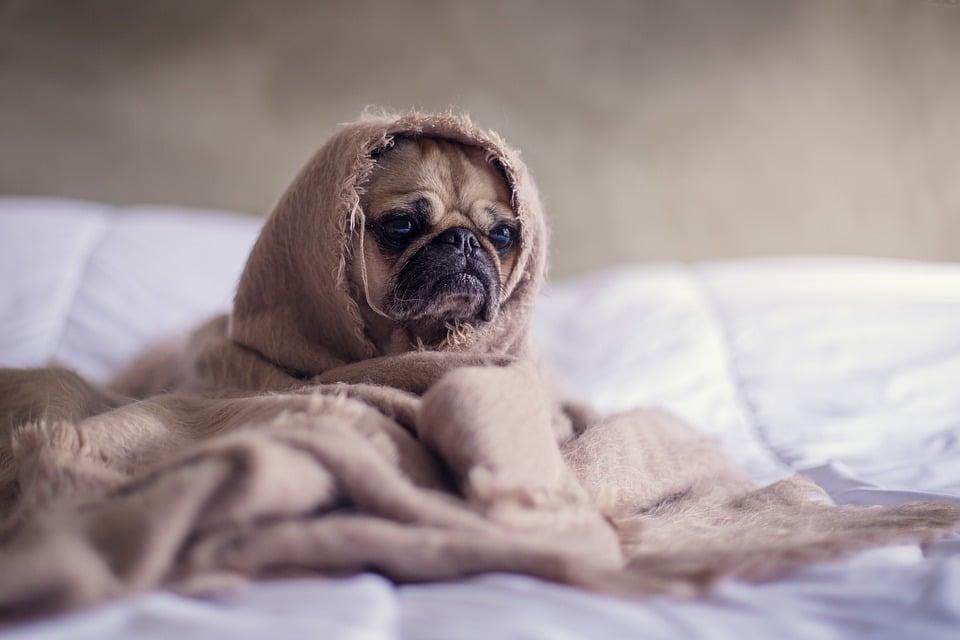 Vomissement chien : comment réagir quand le vomi est jaune?