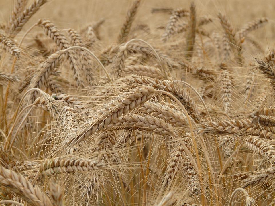 Seigle : découvrez cette alternative au blé